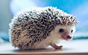 Picking the Perfect Hedgehog