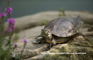 Turtle Information - How to Deal with Your Pet Turtle