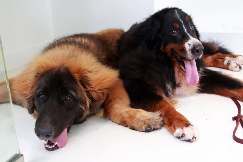 Positive aspects of Obtaining Pets Within Your house
