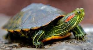Caring For Turtles Out Of Doors