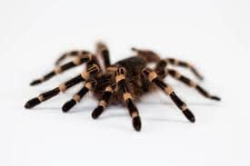 Guidelines on Pet Insects and Tarantulas For Newbies