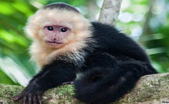 Capuchin Monkeys As Pets