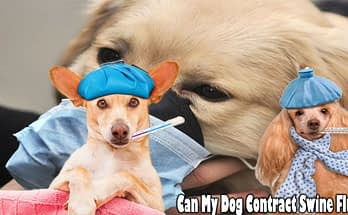 Can My Dog Contract Swine Flu?